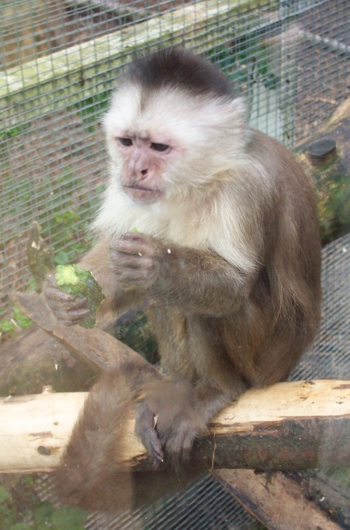 A tense looking monkey chomping on some exotic fruit, Twycross Zoo (2006)