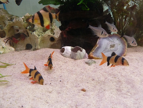 A Tiger-Barb, 3 Clown Loaches and 3 Shadow Tetras are watched by a Red-Clawed Thai Crab. UK, 2010