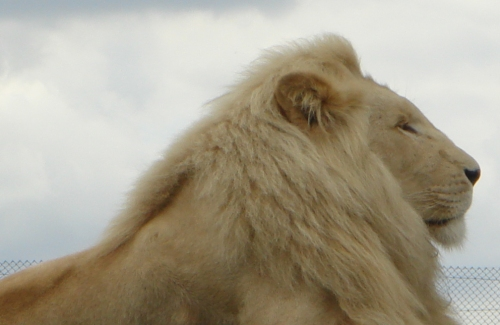 A proud white Lion relaxing in the sun, West Midlands Safari Park (2006)