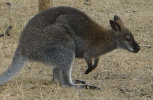 A little Joey bouncing around, West Midlands Safari Park (2006)